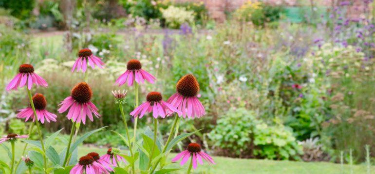 Stauden - Beet - Echinacea - Franks kleiner Garten