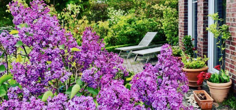 Flieder - Garten - 2020 - iPhone - Franks kleiner Garten