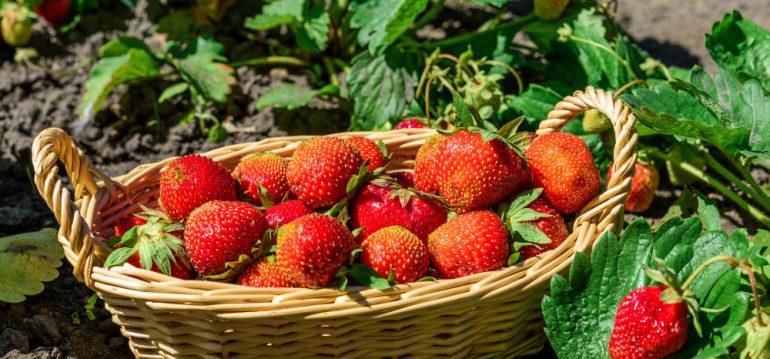 Juni - Erdbeeren - Garten - Franks kleiner Garten