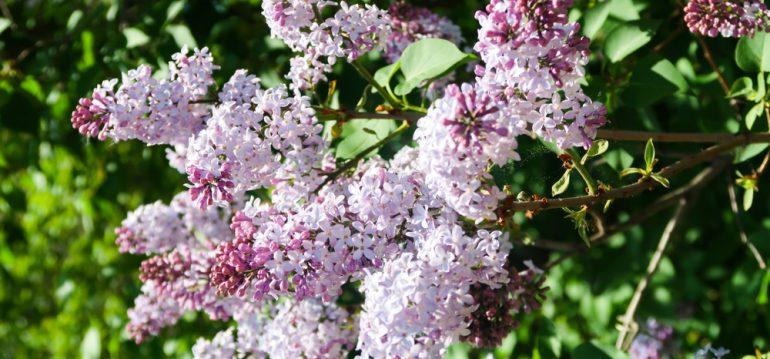 Juni - Flieder - Blau - Franks kleiner Garten