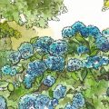 Juni - Hortensien - Illustration - Franks kleiner Garten