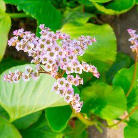 Wandgarten – Vertical Gardening - Bergenie – Franks kleiner Garten
