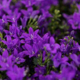 Wandgarten – Vertical Gardening – Glockenblume – Franks kleiner Garten