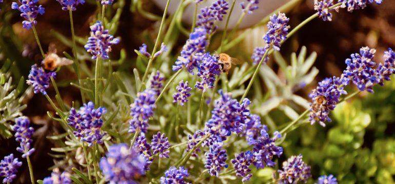 Juli - Lavendel - Biene - Franks kleiner Garten