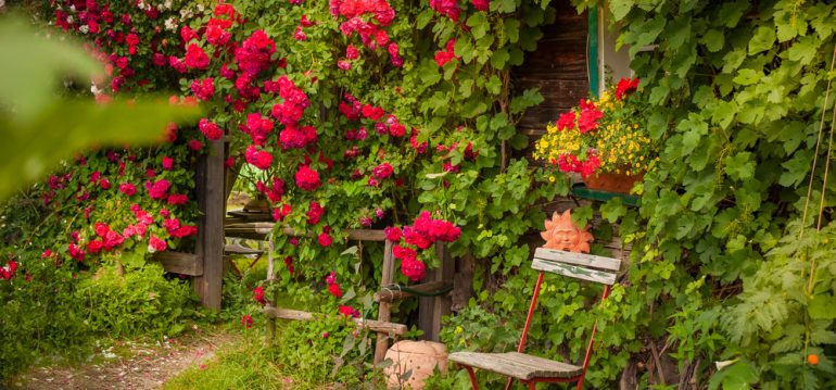 Juli - Rosen - Kletterrosen - Haus - Wand - romantisch - Franks kleiner Garten