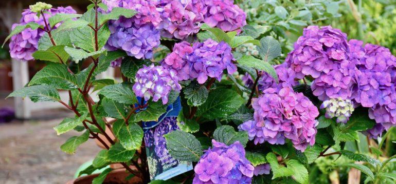Juli - Topfpflanzen - Hortensien - Endless Summer - Franks kleiner Garten