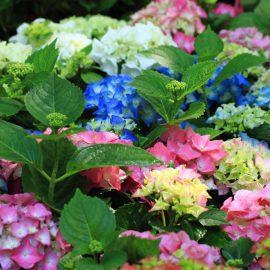 Schattenbalkon - Hortensien - Franks kleiner Garten