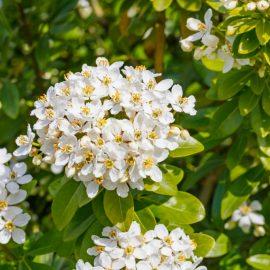 Schattenbalkon - Orangeblume - Franks kleiner Garten