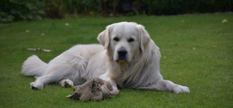 Sommer - Hitze - Schatten - Rasen - Bruno - Hund - Golden Retriever - Franks kleiner Garten