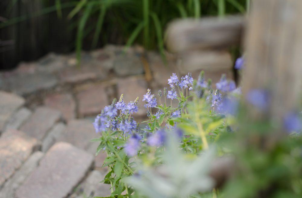 Bodendecker - Ehrenpreis - Franks kleiner Garten
