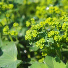 Bodendecker - Frauenmantel – Franks kleiner Garten