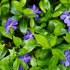 Bodendecker - Immergrün - Franks kleiner Garten