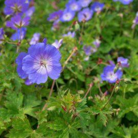 Bodendecker - Storchenschnabel -Franks kleiner Garten