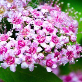Bodendecker - Zwergspiere -Franks kleiner Garten
