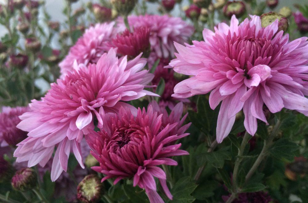 Chrysanthemen sind eine Zierde für jede Fensterbank und machen mit ihren tollen Farben gute Laune im Herbst.