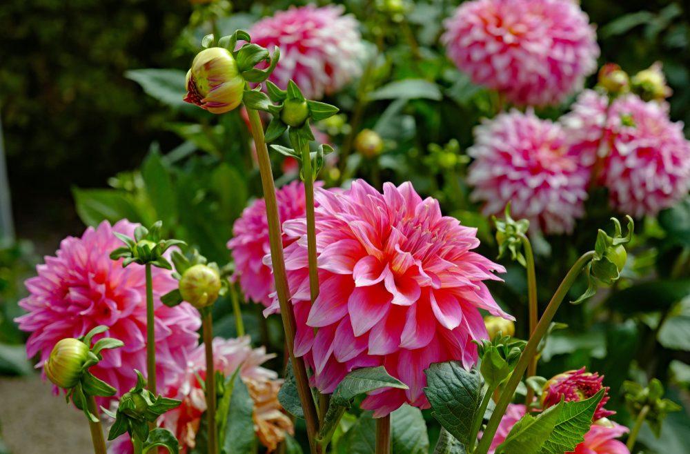 Herbstblüher - Dahlien - Franks kleiner Garten