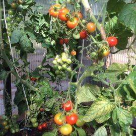 Gewächshaus -Holartherm – bio-top II - Innen - Tomaten - Franks kleiner Garten