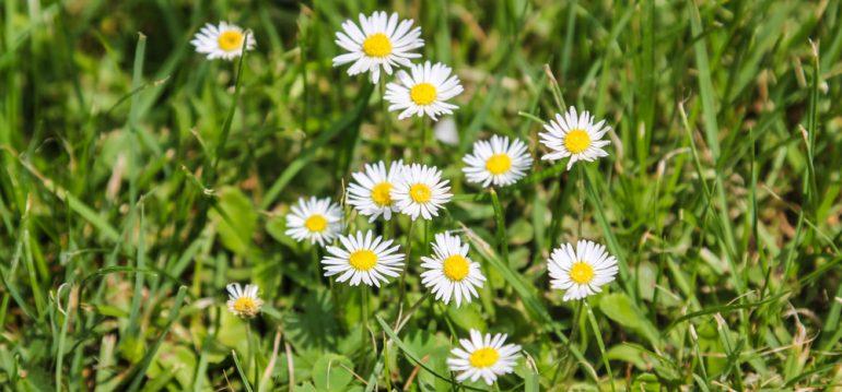 Nachhaltig Gärtnern – Gänseblümchen - Wiese - Franks kleiner Garten