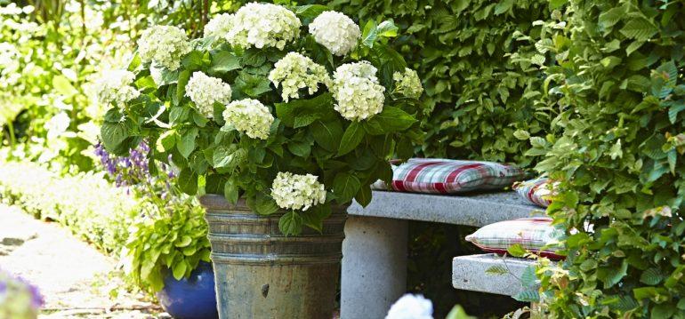Nachhaltig Gärtnern – Topf - Steingut - Endless Summer - Frühling - Sommer - Franks kleiner Garten