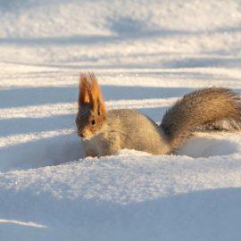 Winterschlaf - Eichhörnchen - Winter - Tier - Schnee - Franks kleiner Garten