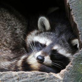 Winterschlaf - Waschbär - Winter - Tier - Franks kleiner Garten
