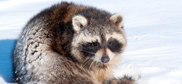 Winterschlaf - Waschbär - Schnee - Winter - Tier - Franks kleiner Garten
