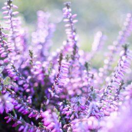Winterstars - Erica - Blau - Winter - Blüte - Franks kleiner Garten