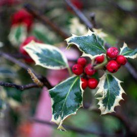 Winterstars - Illex - Winter - Rot - Grün - Franks kleiner Garten