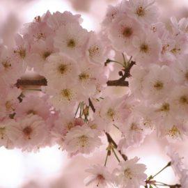 Winterstars - Winter-Kirsche - Blüten - Weiß - Franks kleiner Garten