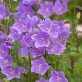 Begleitpflanzen - Rosen - Campanula - Glockenblume - Franks kleiner Garten