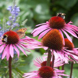 Begleitpflanzen - Rosen - Echinacea - Sonnenhut - Franks kleiner Garten