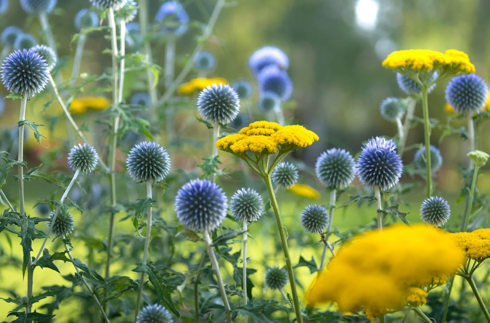 Begleitpflanzen - Rosen - Echinops - Goldgarbe - Franks kleiner Garten