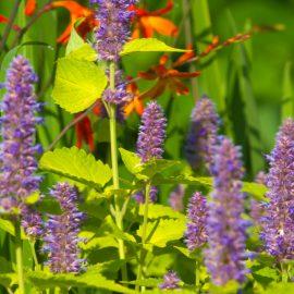 Begleitpflanzen - Rosen - Katzenminze - Sommer - Franks kleiner Garten