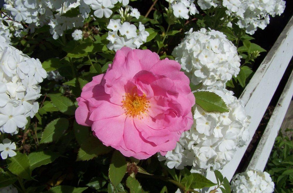 Begleitpflanzen - Rosen - Phlox - mit Rose - Franks kleiner Garten