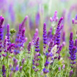 Begleitpflanzen - Rosen - Salbei - Sommer - Franks kleiner Garten