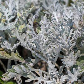 Begleitpflanzen - Rosen - Wermut - Silber - Sommer - Franks kleiner Garten