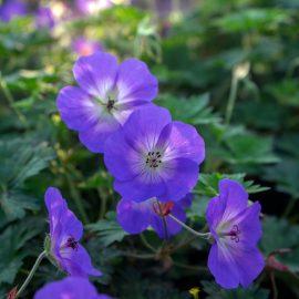 Begleitpflanzen - Rosen - Storchenschnabel - Sommer - Franks kleiner Garten