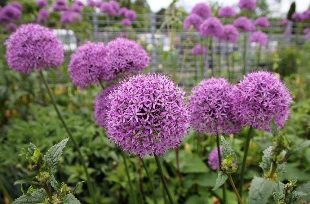 Begleitpflanzen - Rosen - Allium - Zierlauch - Franks kleiner garten