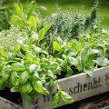 Kräutergarten - Kräuter - Geschenkkasten - Franks kleiner Garten