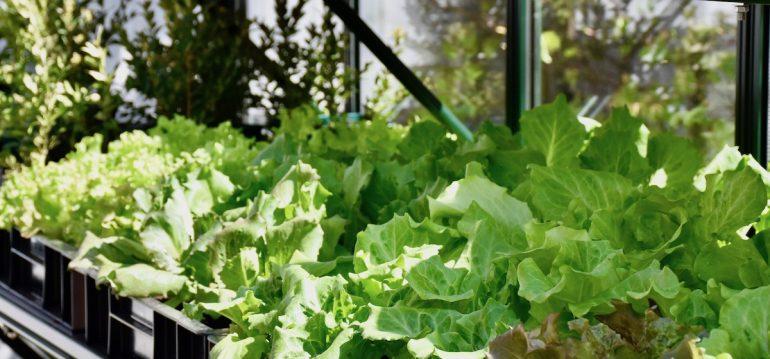 Gewächshaus - Hoklartherm - Salate - Pflanzkisten - Regal - Franks kleiner Garten