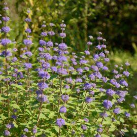 Natürlicher Charme - Bartblume - Caryopteris - Staude - Mai - Frühling - Franks kleiner Garten