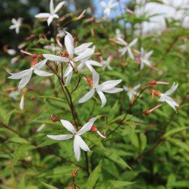 Natürlicher Charme - Dreiblattspiere - Staude - Mai - Frühling - Walencienne - Franks kleiner Garten