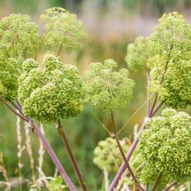 Natürlicher Charme - Engelwurz - Angelica archangelica - Staude - Mai - Frühling - Franks kleiner Garten