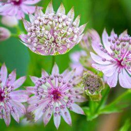 Natürlicher Charme - Sterndolde - Astranzia major -Staude - Mai - Frühling - Franks kleiner Garten