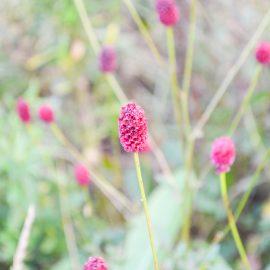 Natürlicher Charme - Wiesenknopf - Sanguisorba - Staude - Mai - Frühling - Franks kleiner Garten