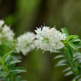 Natürlicher Charme - Zimterle - Clethra alnifolia - Staude - Frühling - Mai - Franks kleiner Garten