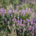 Blütenküche - Pflanzen mit Geschmack - Essbare Blüten - Thymian - Thymus vulgaris - Franks kleiner Garten