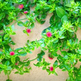 Blütenküche - Pflanzen mit Geschmack - Essbare Blüten - Eiskraut - Aptenia cordifolia - Franks kleiner Garten