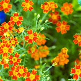 Blütenküche - Pflanzen mit Geschmack - Essbare Blüten - Gewürz-Tagetes - Tagetes tenuifolia - Franks kleiner Garten