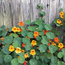 Blütenküche - Pflanzen mit Geschmack - Essbare Blüten - Kapuzinerkresse - Tropaeolum majus - Franks kleiner Garten